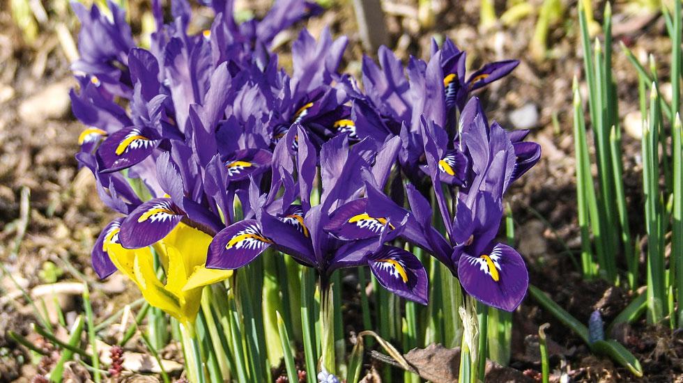 Pflanze Des Monats Zwiebel Iris Schweizer Garten