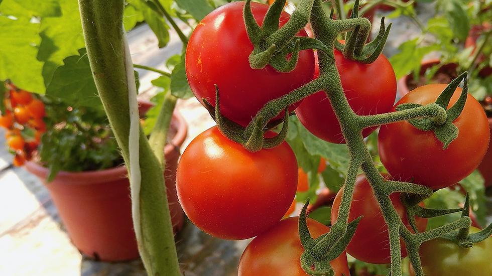 wie bereite ich alte topferde von tomaten auf schweizer. Black Bedroom Furniture Sets. Home Design Ideas