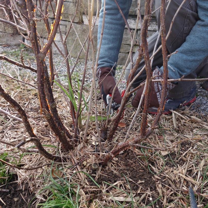 Beerensträucher schneiden