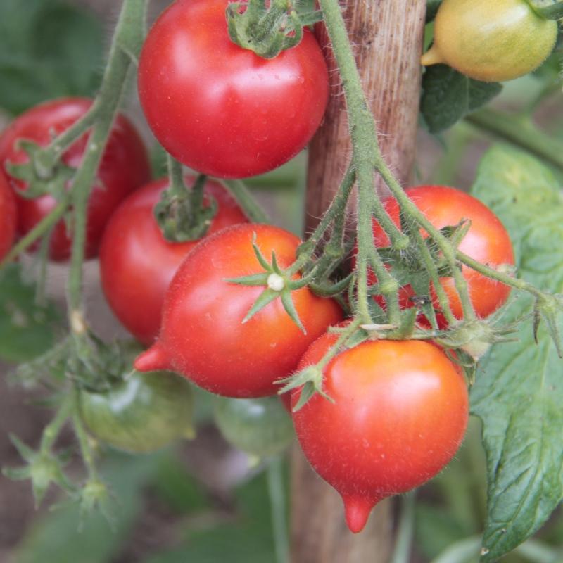 Tomatenpflege