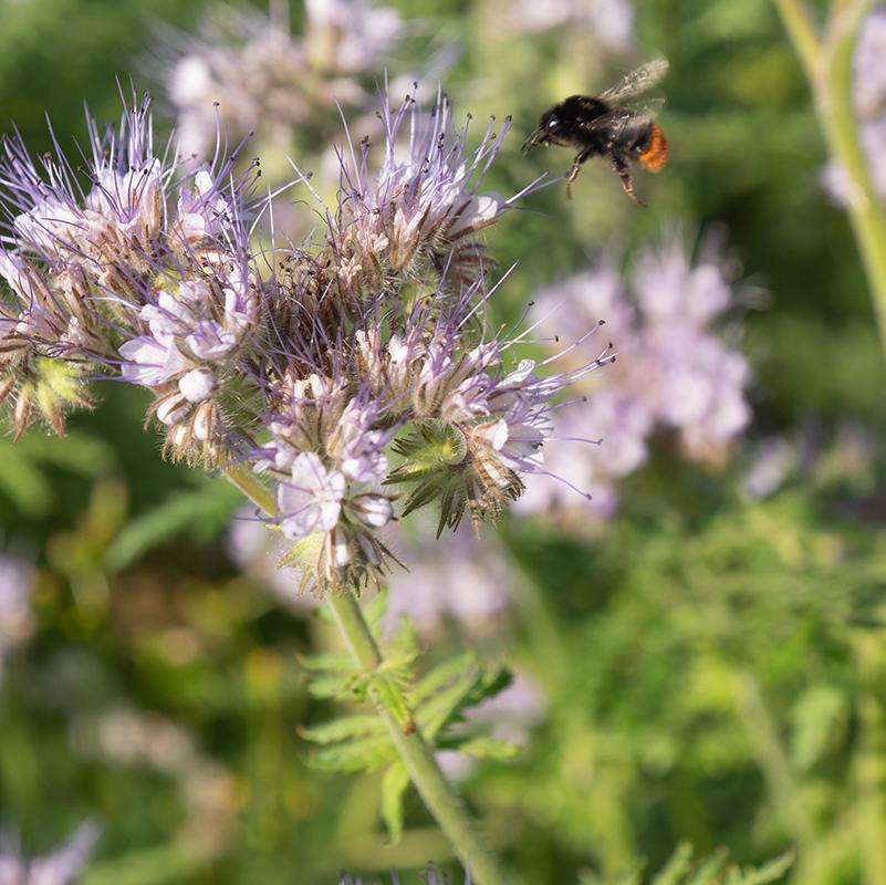 Gründünger und Bienenweide