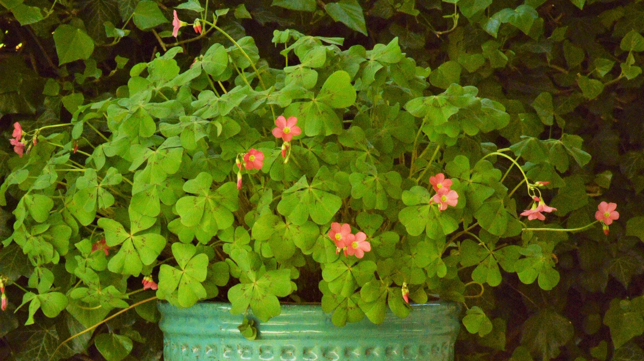 Glücksklee: Unterpflanzen statt wegwerfen