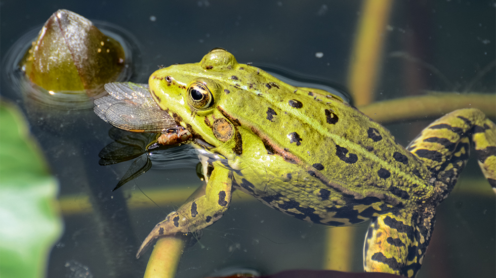 Für Frosch, Molch und Kröte