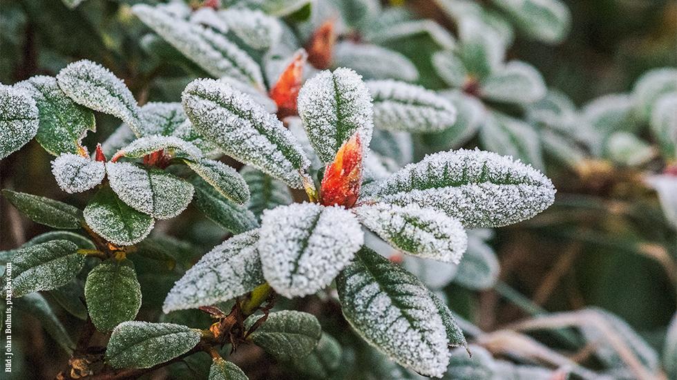 Rhododendron zurückschneiden