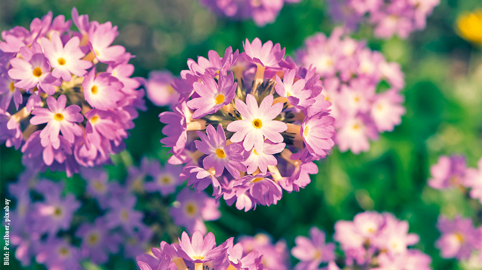 Kugel-Primel: spektakulärer Frühblüher