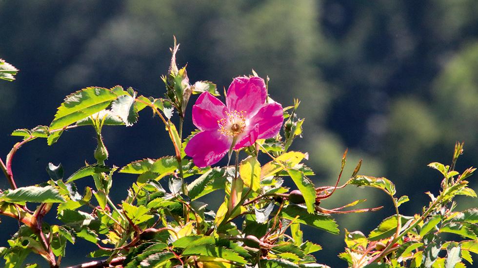 Wilde Röschen im Garten