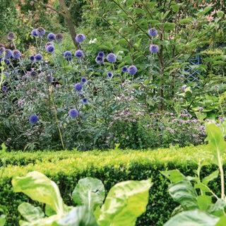 Blaublütige für den Garten