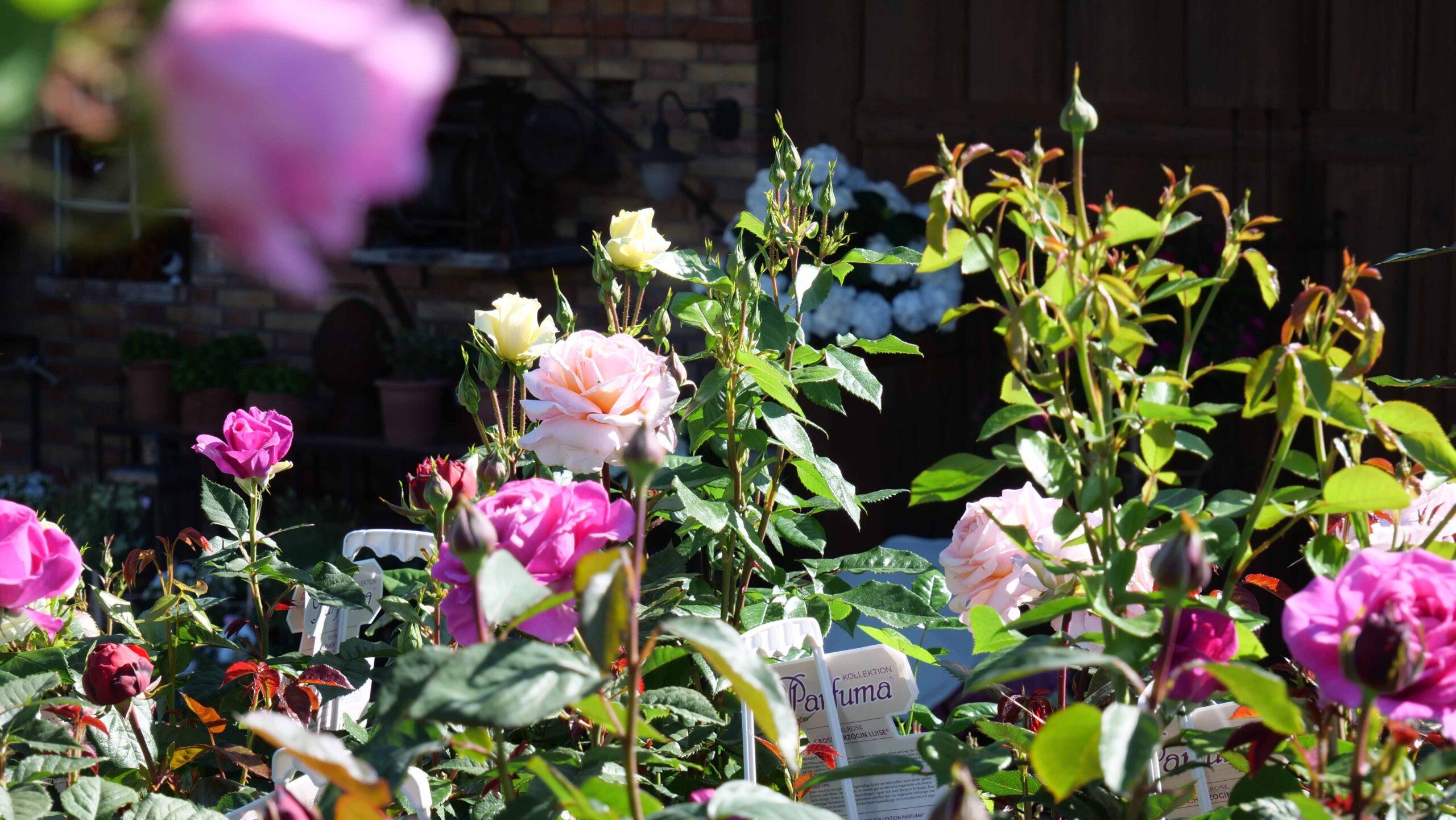 Pflegetipps für Rosen