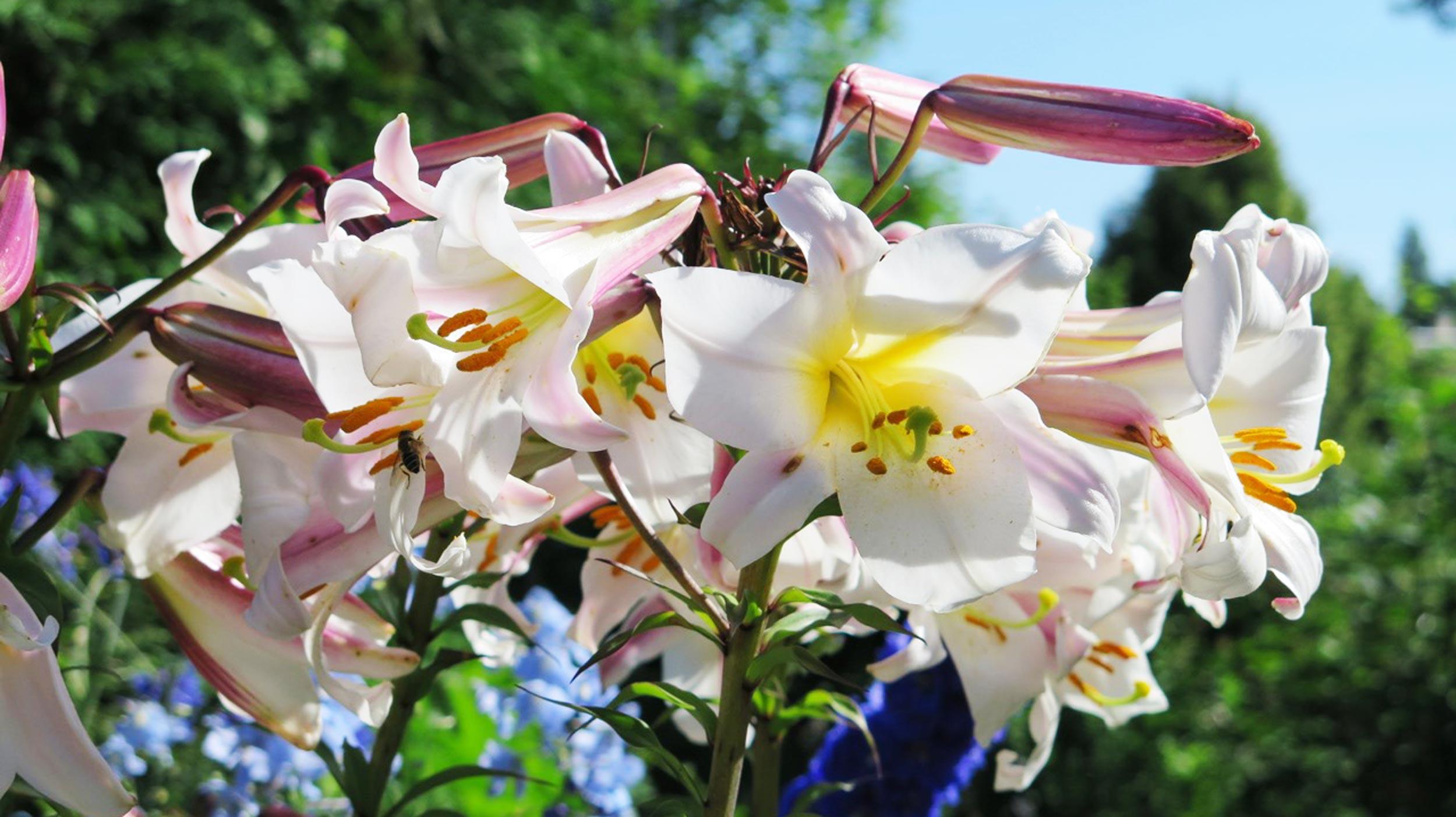 Königs- und Prachtlilien pflanzen