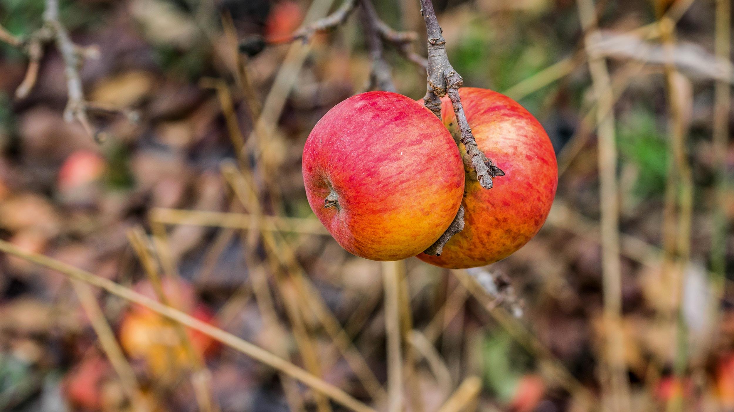 Apfelspalier mit Wollläusen