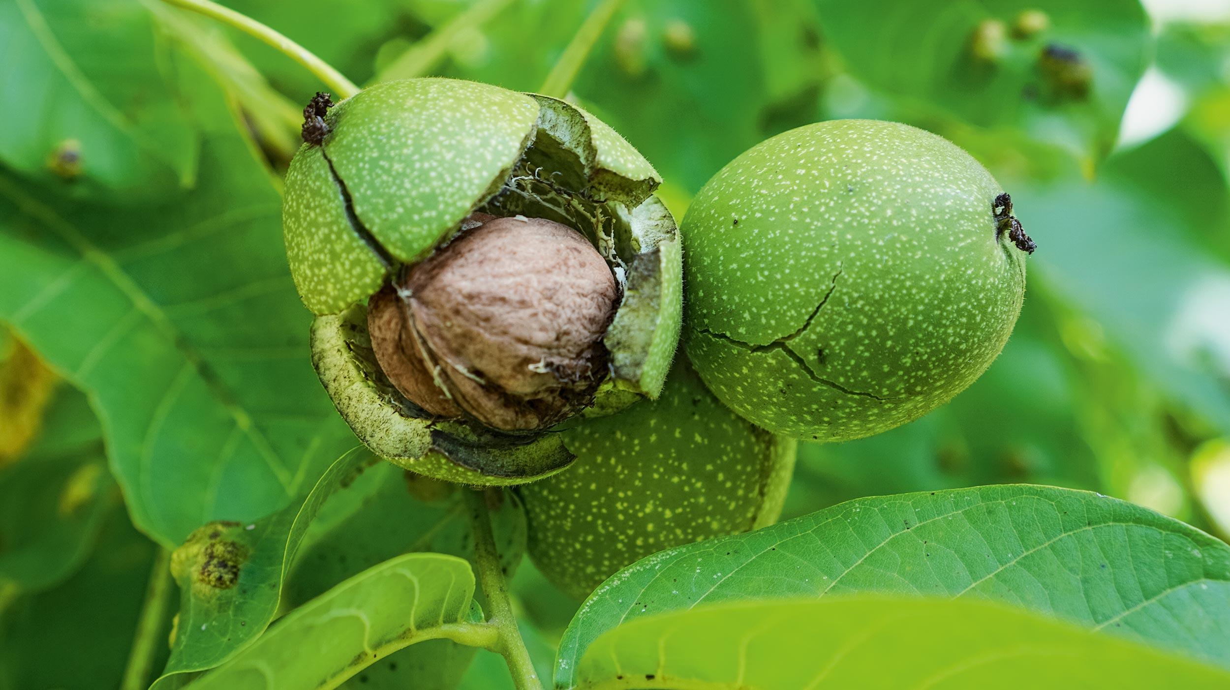 Nussbaum im Gemüsegarten