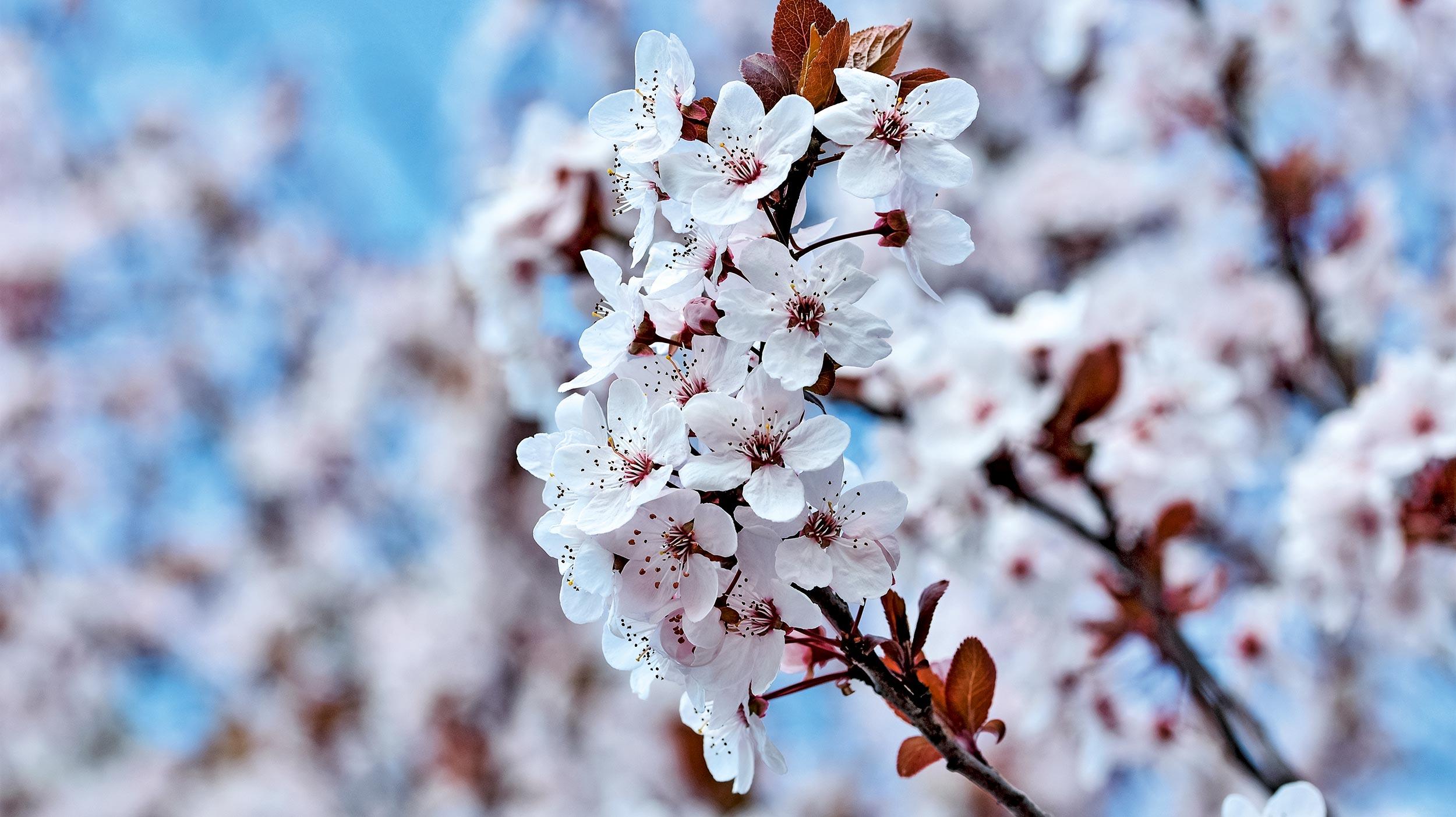 Verdorrtes Laub an Japanischer Kirsche