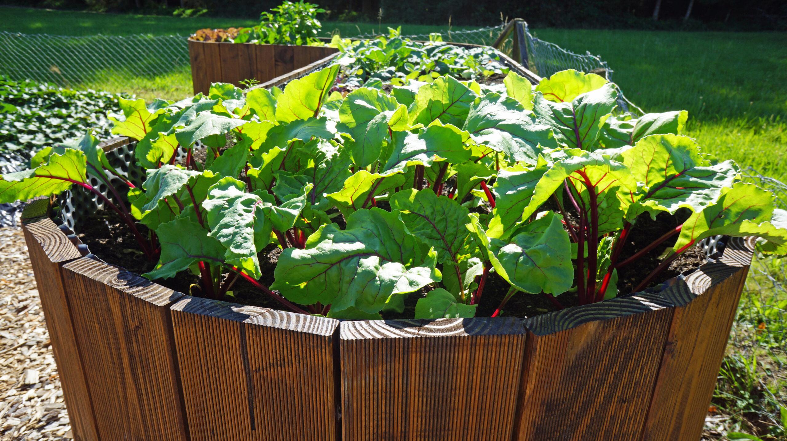 Gemüse im Hochbeet kultivieren