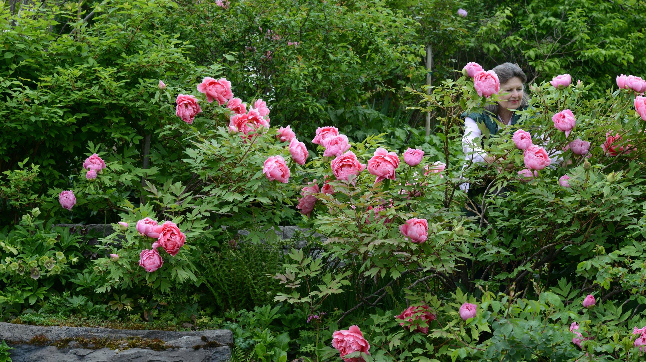 Pfingstrose: Blühwunder im Garten