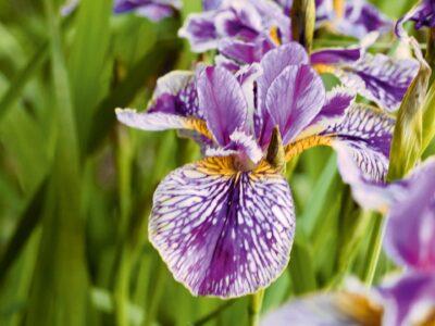 Iris mit Wildcharakter