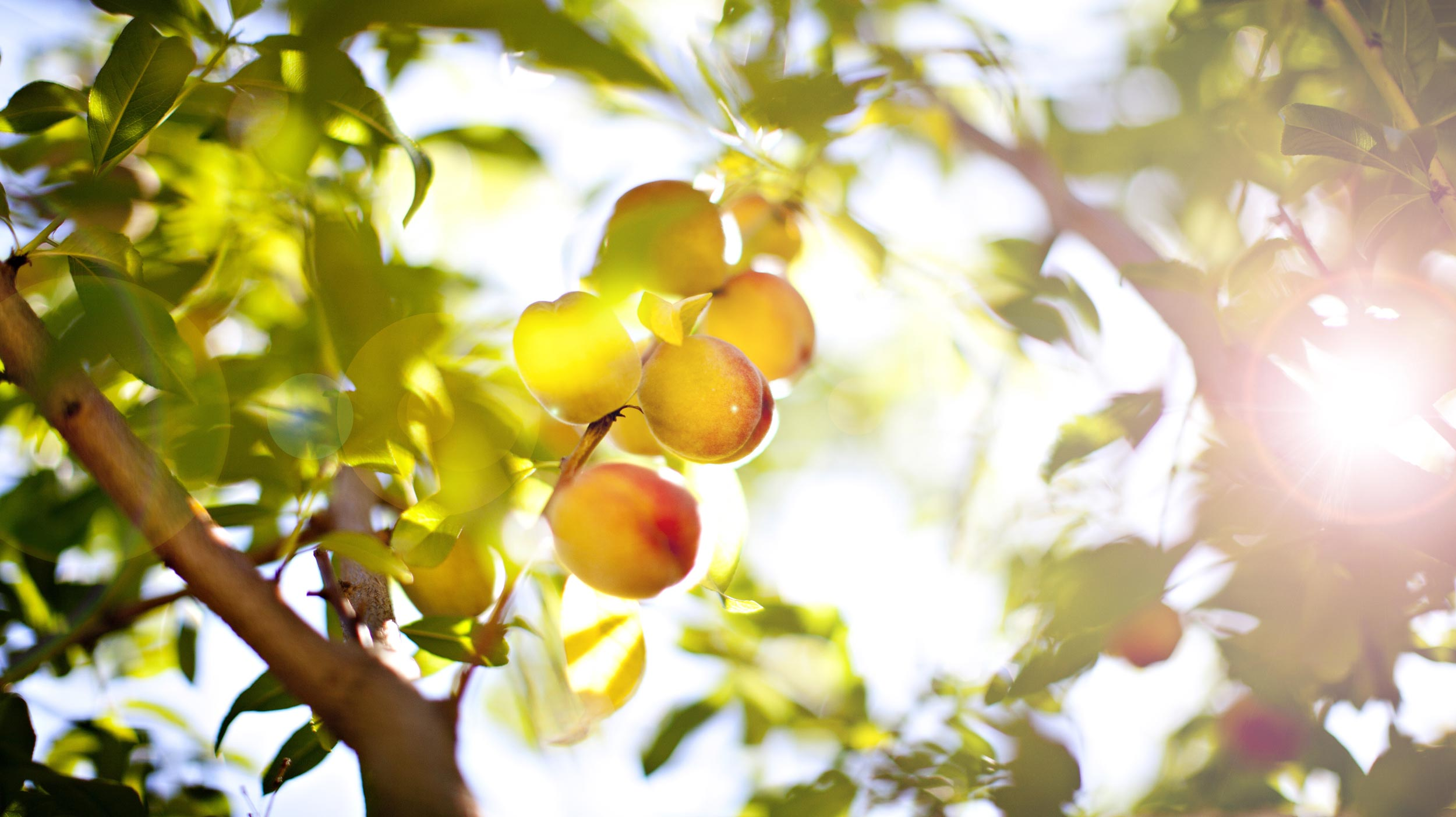 Obstbäume im Frühling richtig düngen