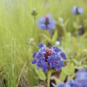 Lippenblütler: Attraktive Arten für Balkon und Garten
