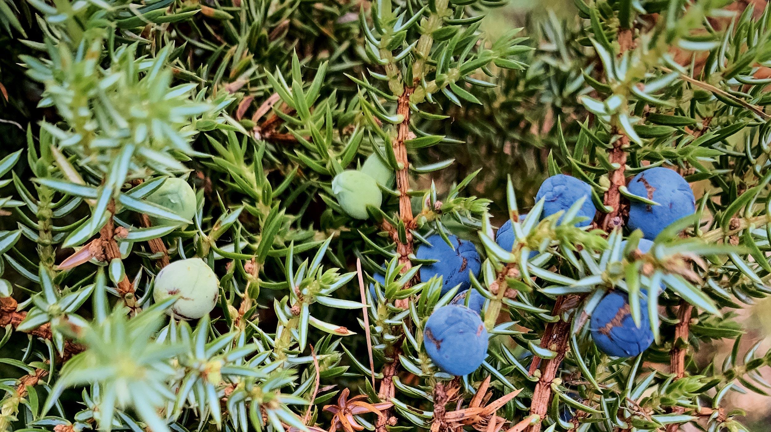 Die blauen Beeren von Holunder und Wacholder