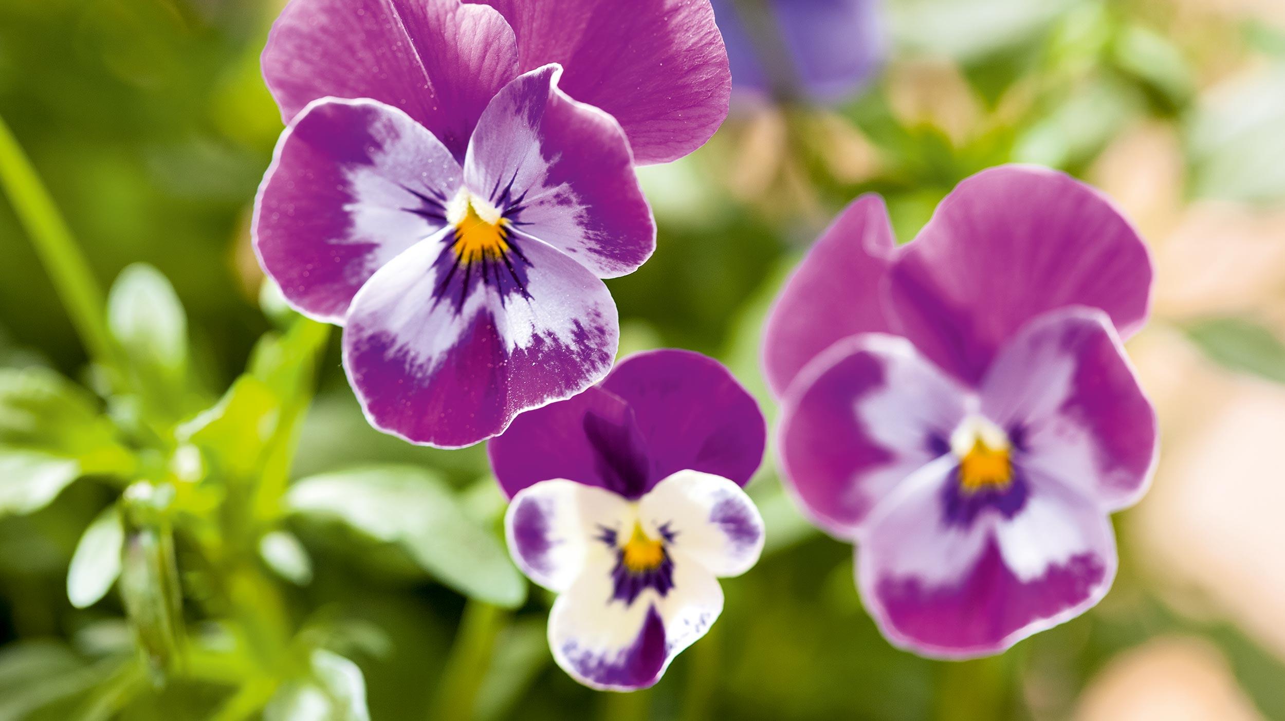Viola mit Mehltau