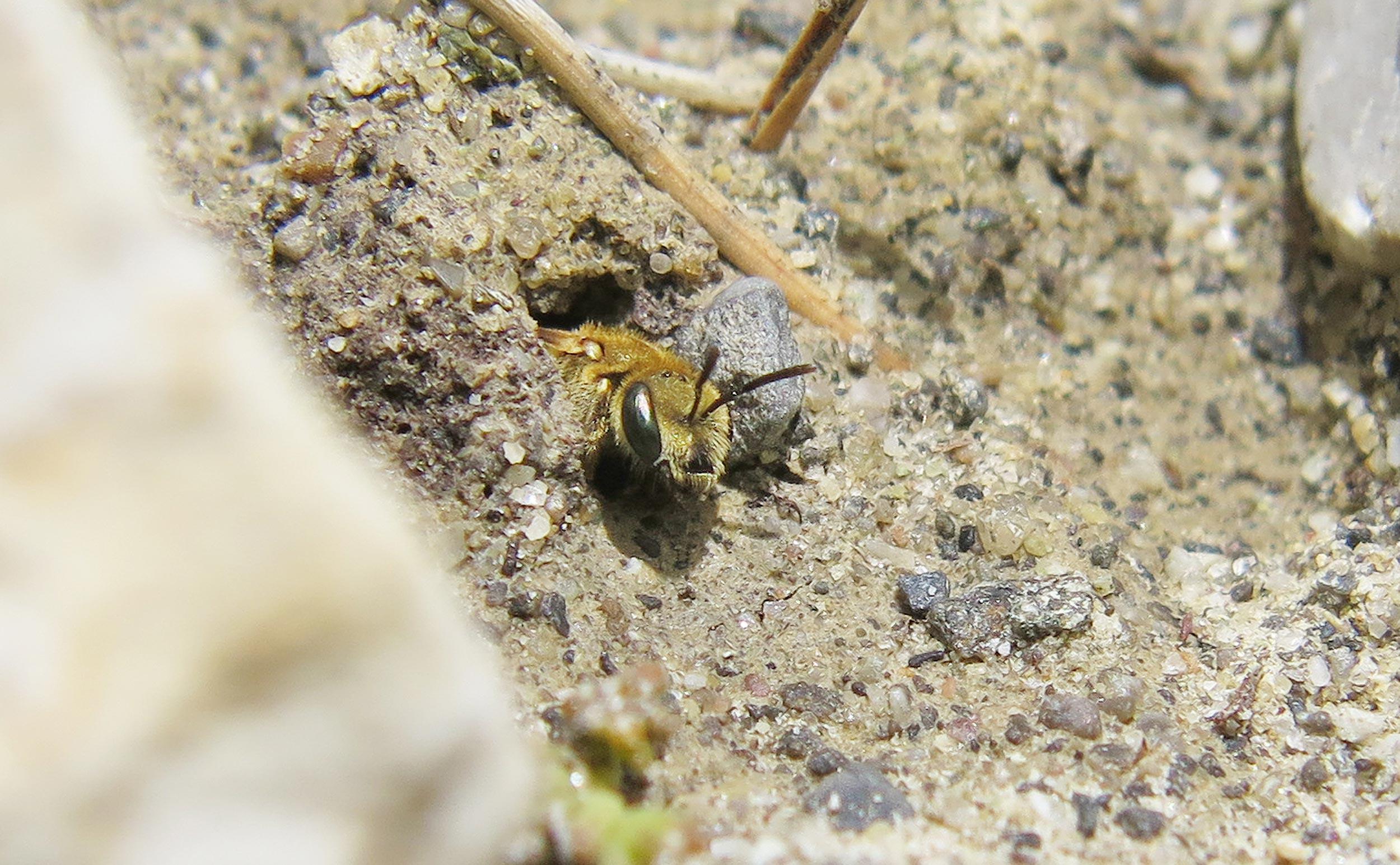 Sandarium für Wildbienen