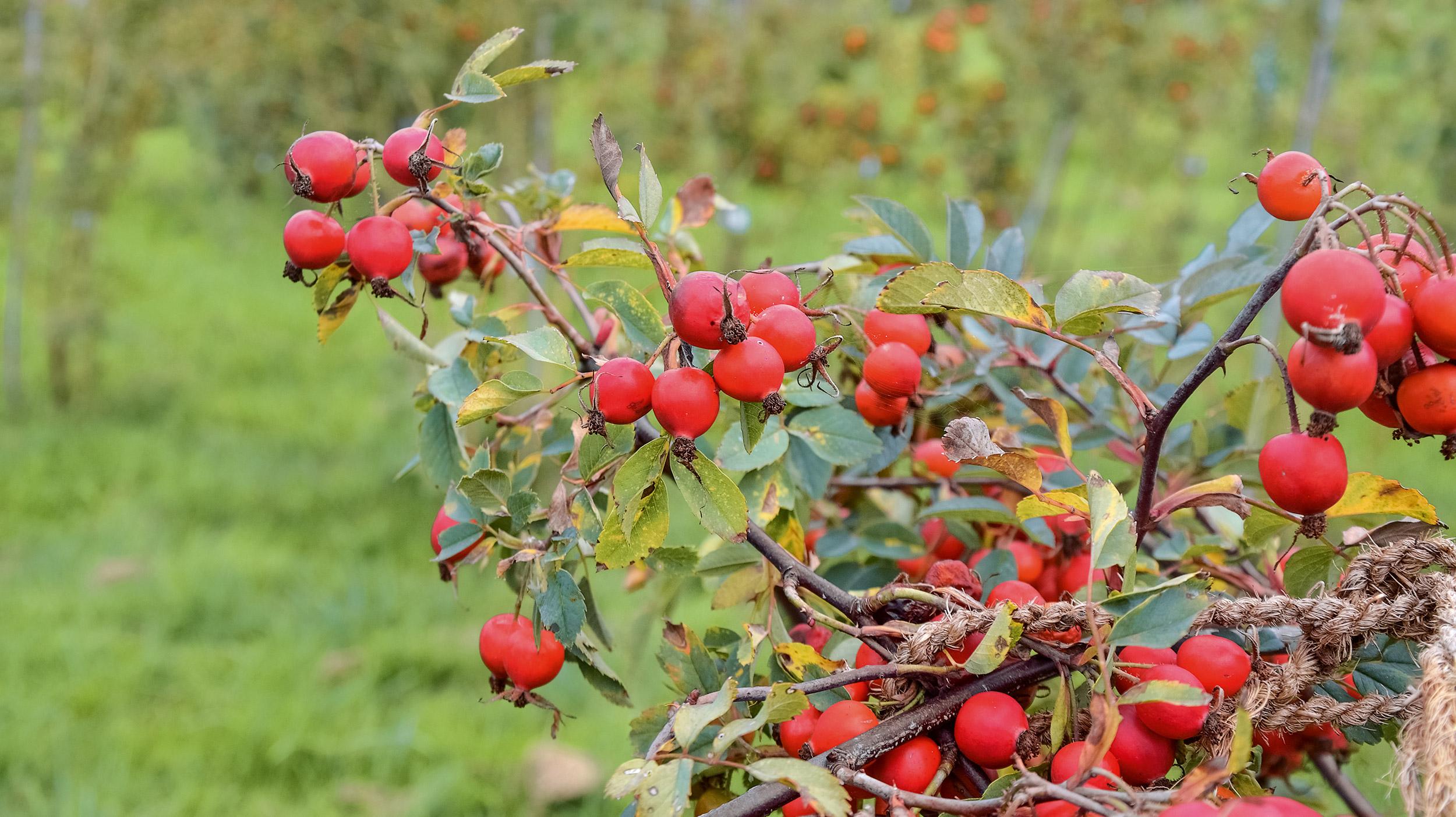 Apfelrosen und Haselnüsse