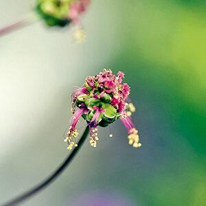 Stauden mit knopfigen Blüten